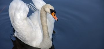 Strange British laws - Swans